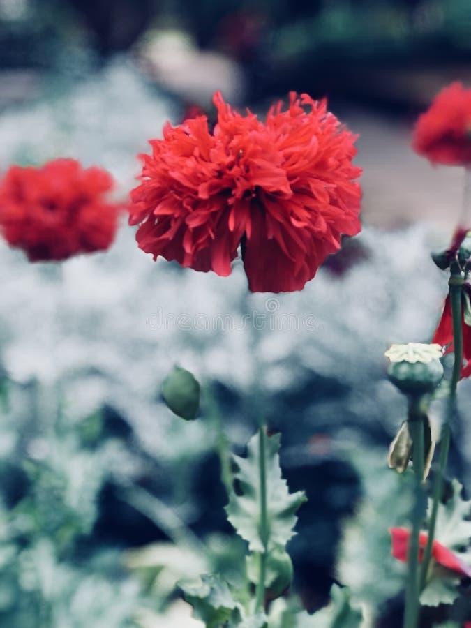 Lovely Poppy stock image