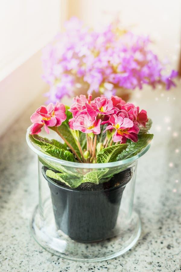 Lovely primrose flowers in pot on windowsill royalty free stock photos