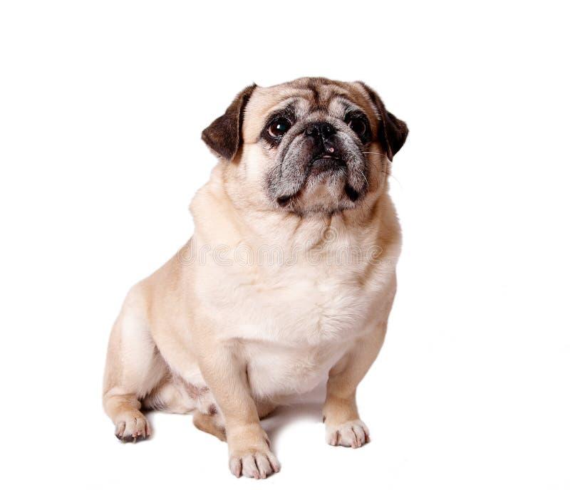 Lovely pug dog royalty free stock photo