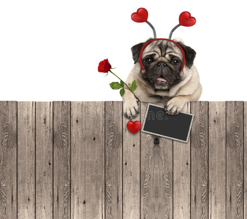 Lovely pug dog with hearts diadem, blackboard and rose, hanging on wooden fence. Isolated on white background royalty free stock image