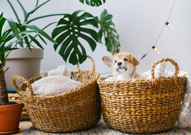 Lovely puppies, hid in two straw baskets. Horizontal photo royalty free stock image