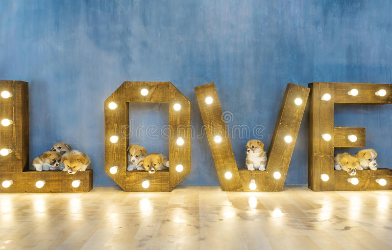 Lovely puppies in studio against the background of the word love. Holiday of spring. March 8 stock photo