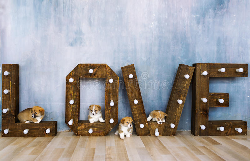Lovely puppies in studio against the background of the word love. Holiday of spring. March 8 royalty free stock images