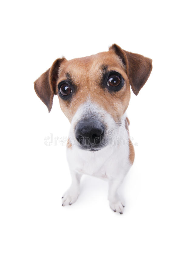 Lovely puppy. animal emotions. Funny cute Jack Russell terrier looking curiously at the camera from the bottom up royalty free stock photos