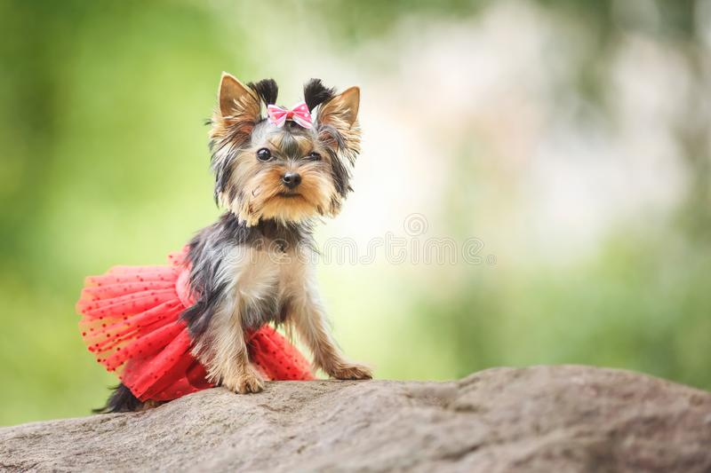 Lovely puppy of female Yorkshire Terrier small dog with red skirt on green blurred background.  royalty free stock photography