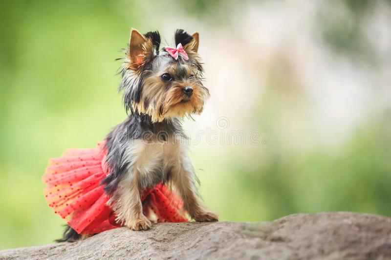 Lovely puppy of female Yorkshire Terrier small dog with red skirt on green blurred background.  royalty free stock photos