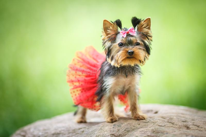 Lovely puppy of female Yorkshire Terrier small dog with red skirt on green blurred background.  stock image