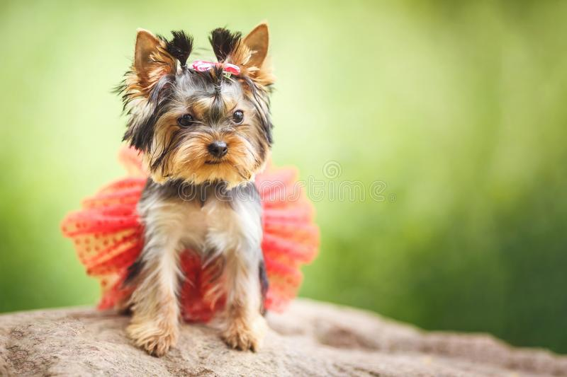 Lovely puppy of female Yorkshire Terrier small dog with red skirt on green blurred background.  royalty free stock images