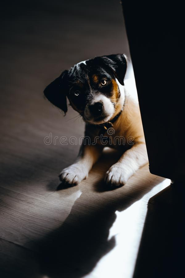 Lovely puppy looks sweet. Purebred jack russell terrier. Lovely puppy looks sweet. Purebred jack a russell terrier stock photo