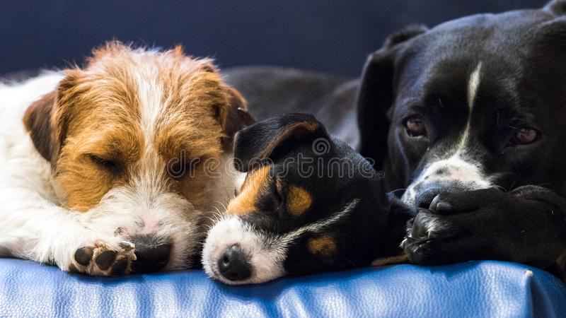 Lovely puppy looks sweet, purebred jack russell terrier cuddled to a big dog. Lovely puppy looks sweet, purebred jack russell terrier cuddled to big dog stock images