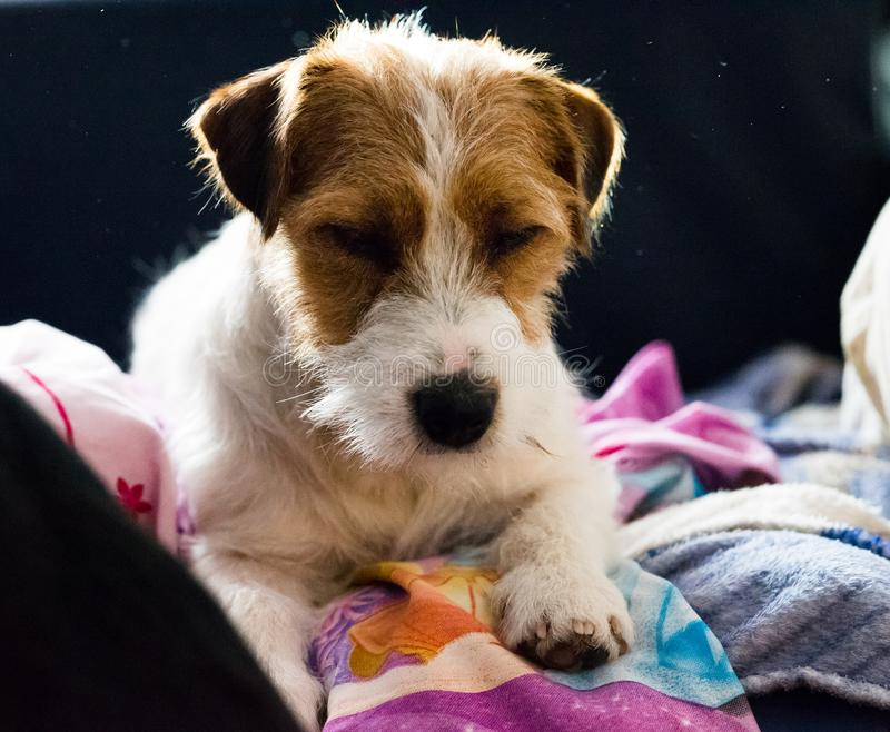 Lovely puppy looks sweet, purebred jack russell terrier cuddled to a big dog. Lovely puppy looks sweet, purebred jack russell terrier cuddled to big dog stock image