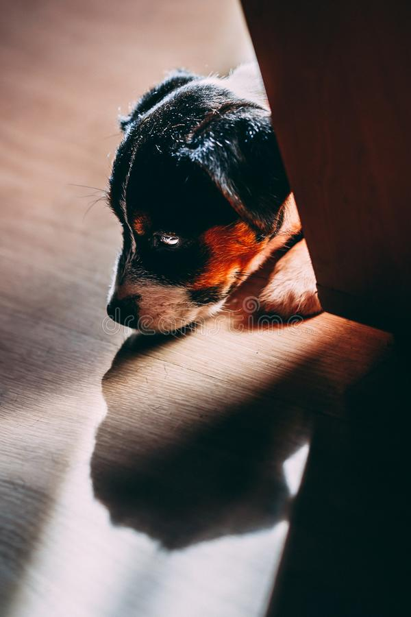 Lovely puppy looks sweet. Purebred jack russell terrier. S stock image
