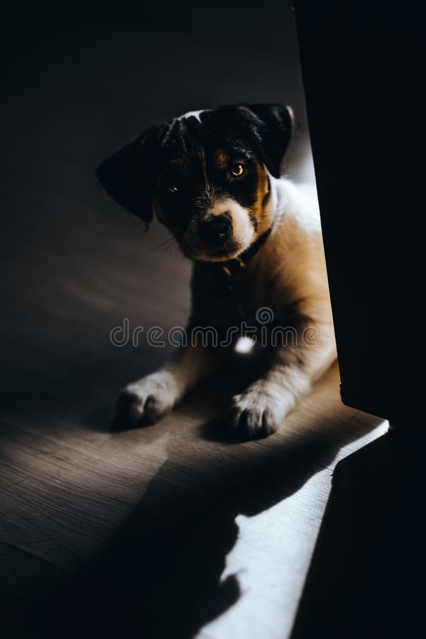 Lovely puppy looks sweet. Purebred jack russell terrier. Lovely puppy looks sweet. Purebred jack russel terrier royalty free stock photography