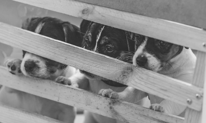 Lovely puppy looks sweet. Purebred jack russell terrier. S stock photography