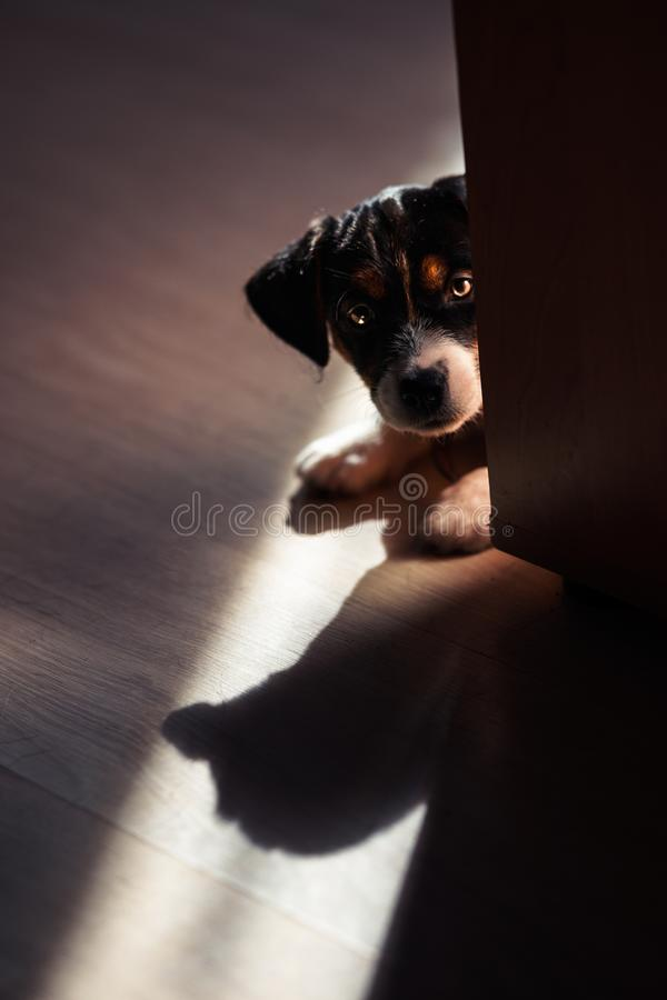 Lovely puppy looks sweet. Purebred jack russell terrier. S royalty free stock photo