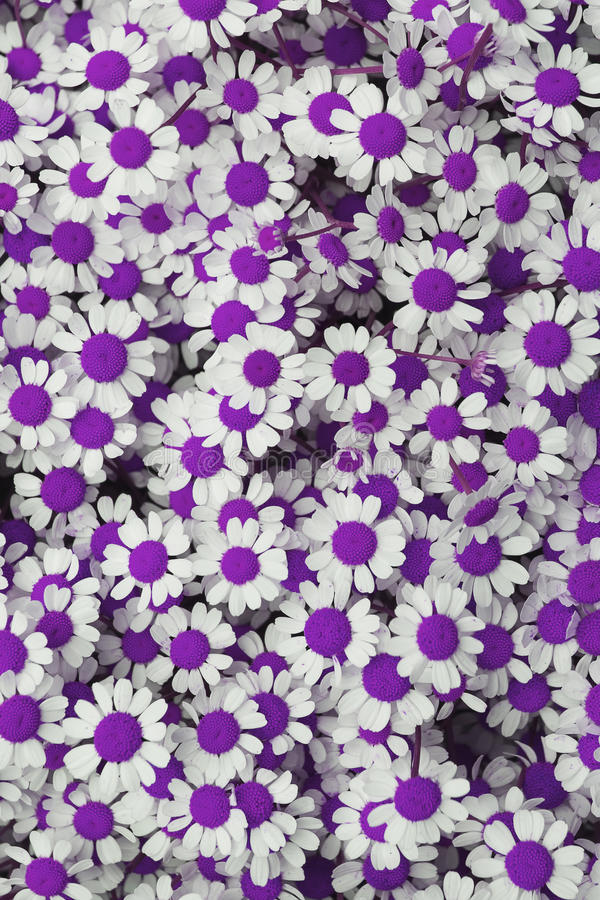 Lovely purple blossom daisy flowers background. Look on Lovely purple blossom daisy flowers background stock photo