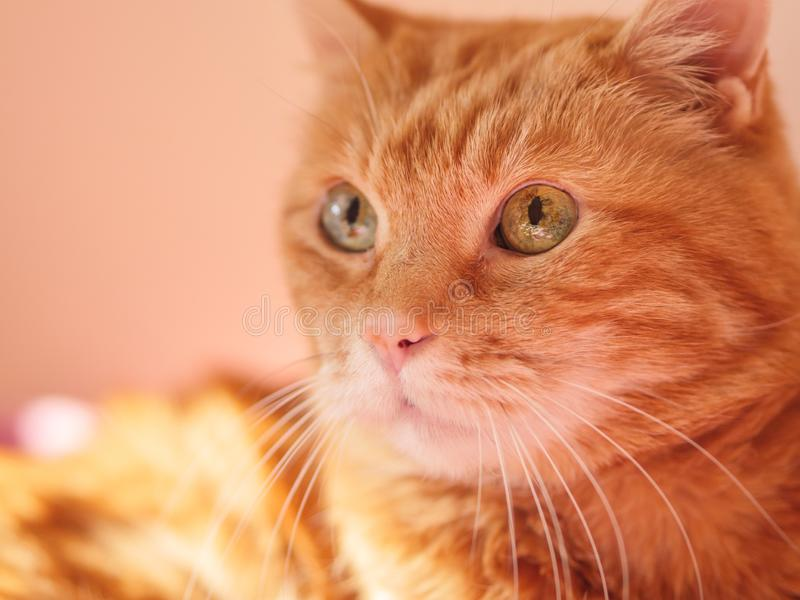 Lovely red cat. Lovely red cat looking somewhere. Selective soft focus royalty free stock photography