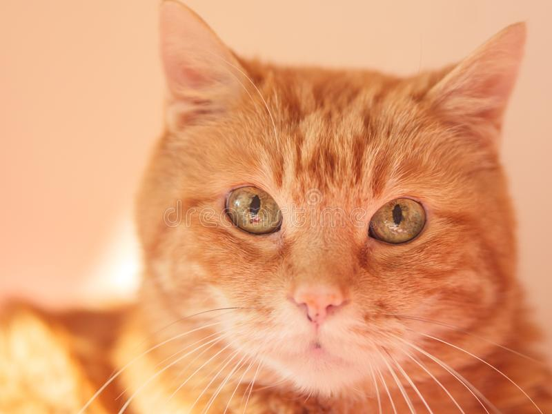 Lovely red cat. Lovely red cat looking somewhere. Selective soft focus royalty free stock photos