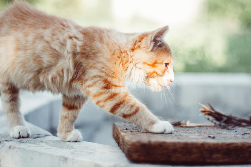 Lovely red kitten sneaking. In the garden royalty free stock photo