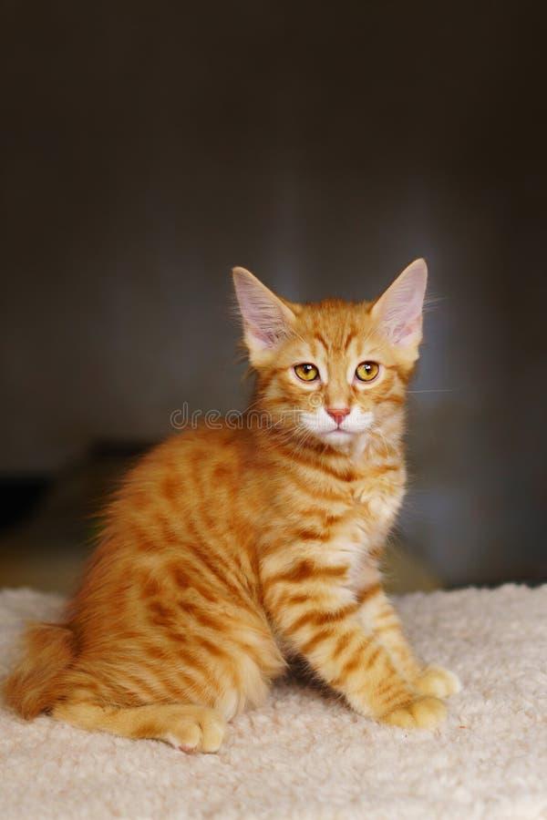 Lovely red thoroughbred kitten stock photos