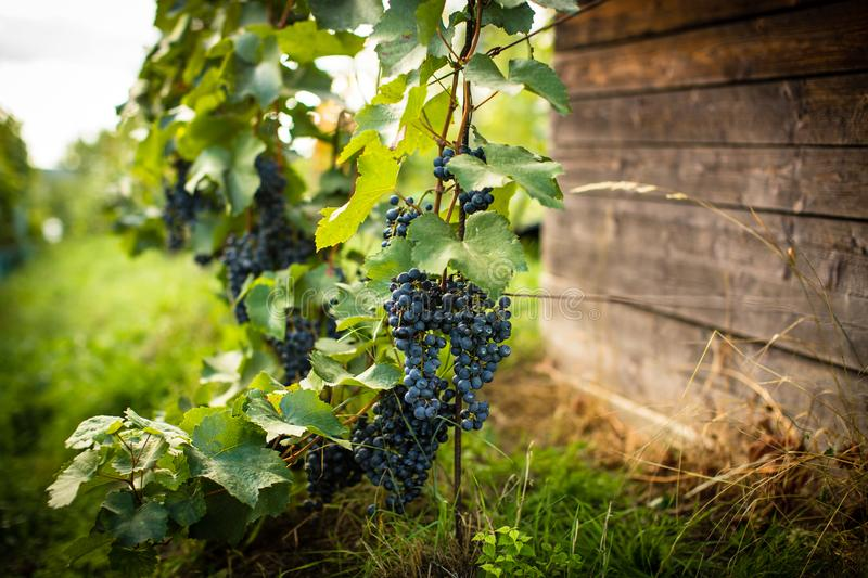 Lovely ripe, red grapes in a vineyard stock photo