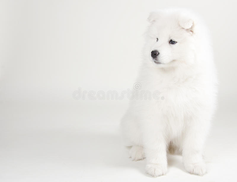 Lovely Samoyed puppy. (on a light gray background royalty free stock images