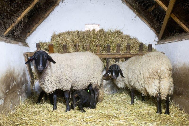 Lovely sheeps stock photo