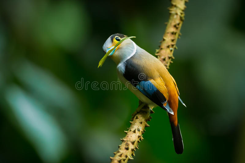 Lovely Silver-breasted Broadbill stock images