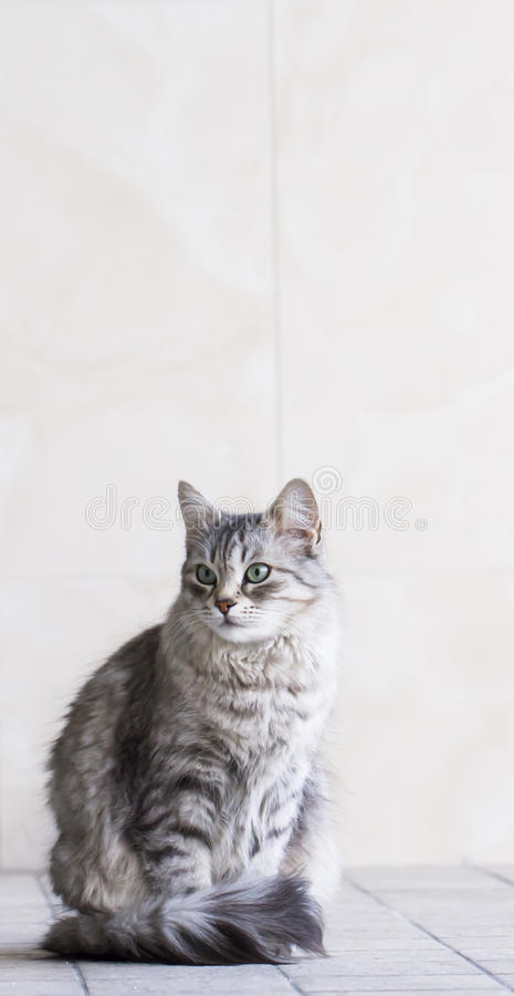 Lovely silver cat in the house, female siberian breed royalty free stock photo