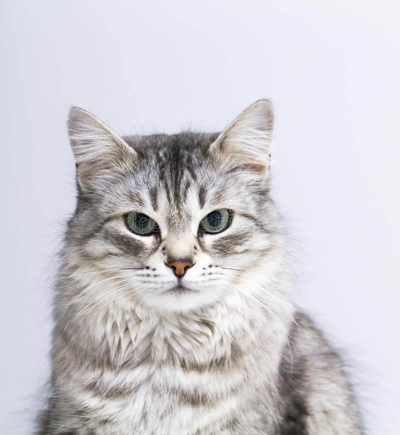 Lovely silver cat in the house, female siberian breed royalty free stock photos