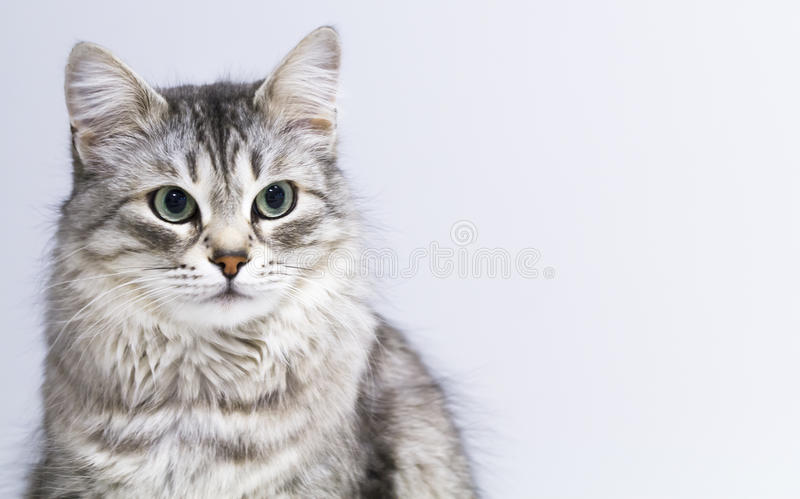 Lovely silver cat in the house, female siberian breed stock image