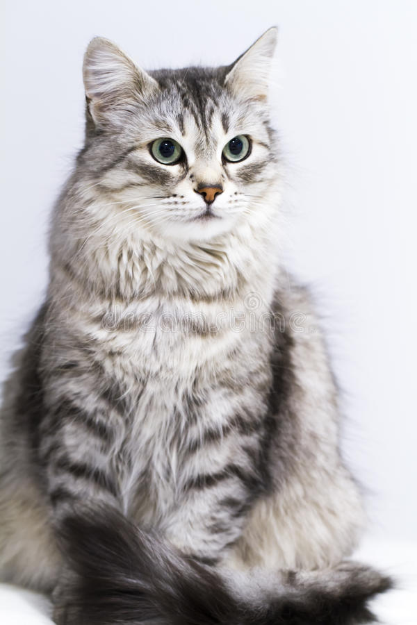 Lovely silver cat in the house, female siberian breed stock images