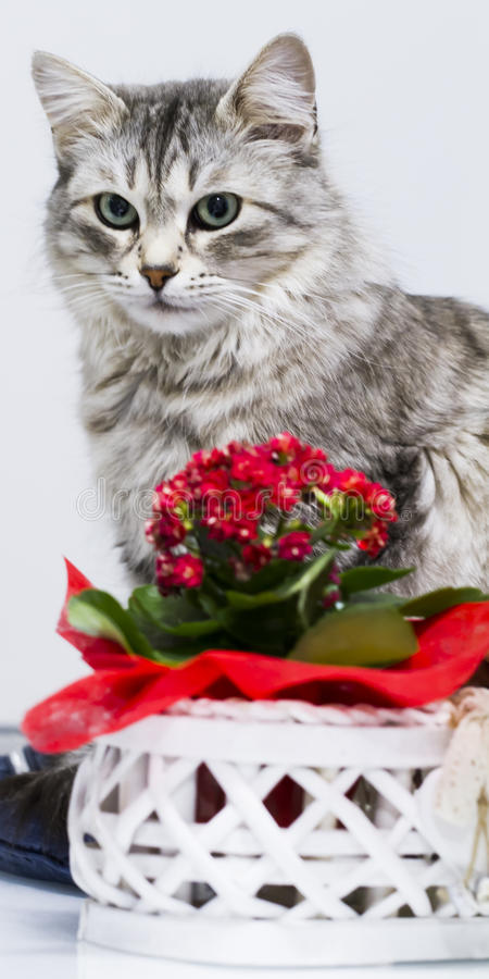 Lovely silver cat in the house, female siberian breed royalty free stock image