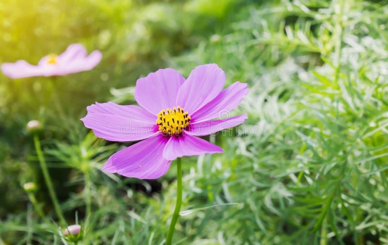 Lovely single pink flower cosmos in field in warm sunlight royalty free stock photo