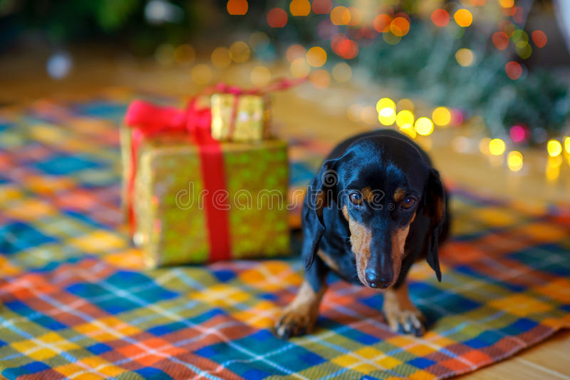 Lovely small doggie. Sits near gifts, on a background festive jewelry stock photos