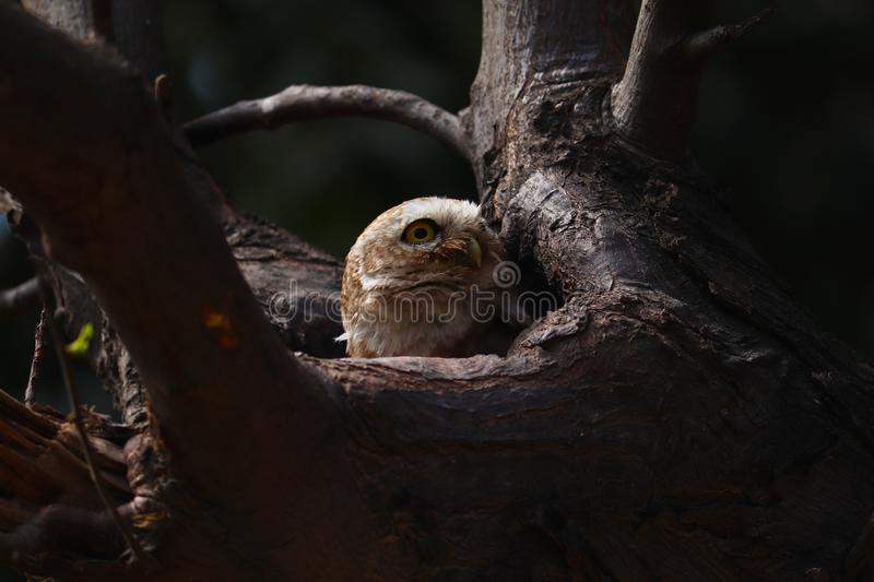 Lovely Spotted owlet relax on it tree hollow. Predator, head. Lovely Spotted owlet relax on it tree hollow home in good view stock images