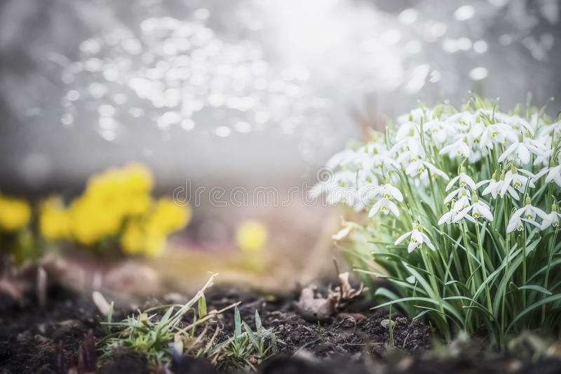 Lovely spring garden or park with snowdrops flowers, outdoor nature royalty free stock image