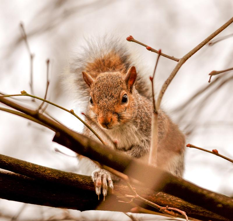 A lovely squirrel sitting on a tree branch. Detail of Sciuridae. Close-up of squirrel looking right at you. London park stock photo