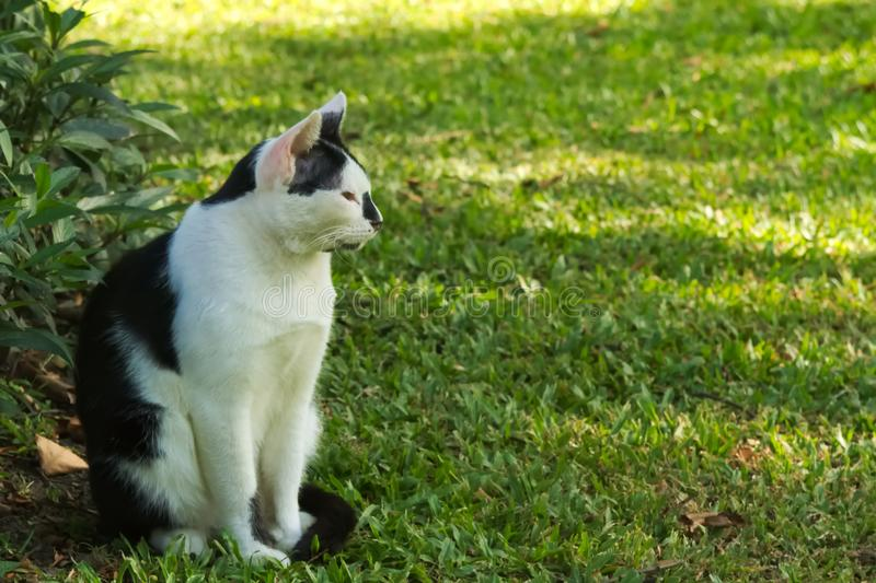 Lovely, stray, homeless, black and white cat enjoying the shade in a lush Thai park. royalty free stock photo