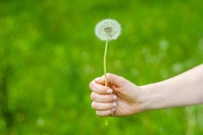 Lovely summer picture of a female hand holding dandelion against grass background stock images