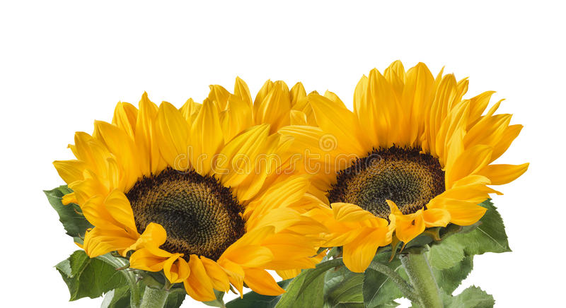 Lovely sunflower group plant isolated on white background royalty free stock photos