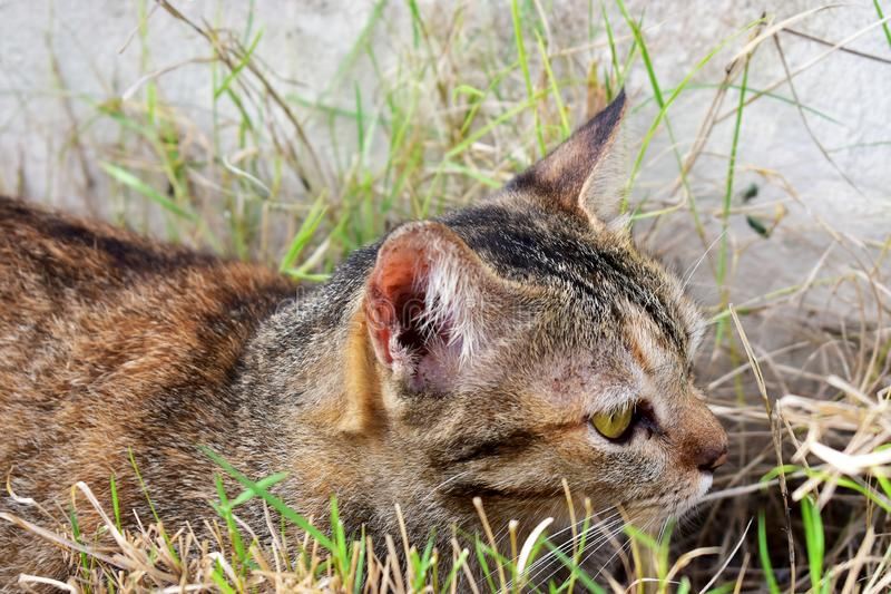 The Lovely Tabby Cat relaxing on the grass field to looking for something. The Lovely Tabby Cat relaxing on the grass field to looking for foods stock image