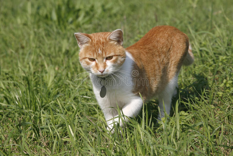 Lovely tabby kitten hunting on the lawn royalty free stock photos