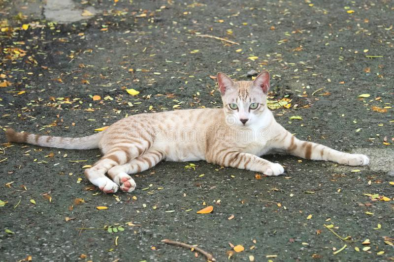 A lovely tan and white stray cat, lounging on the street, in a lush green park. royalty free stock photography