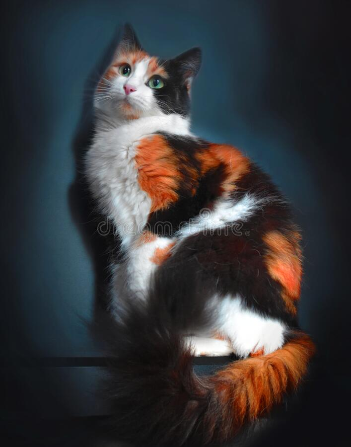 Free Lovely Three Colors Cat Studio Portrait With Dark Background Royalty Free Stock Photos - 171530918