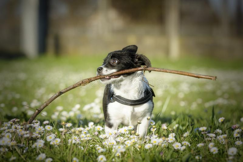 Lovely tiny black and white puppy playing with a big stick stock image