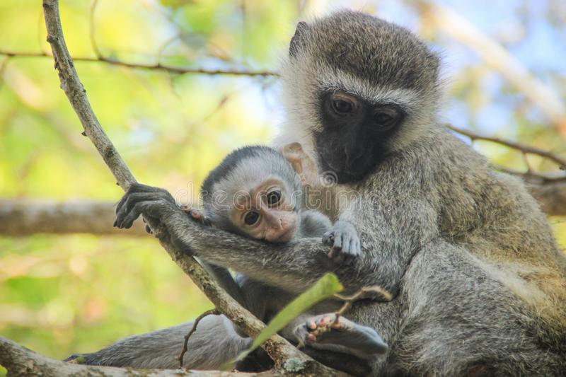 Lovely and touching mom and baby monkeys. Care and love stock photography