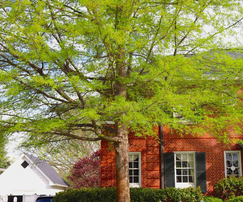 Tree Lovely With Spring Leaves Graces Front of Brick Home royalty free stock photos