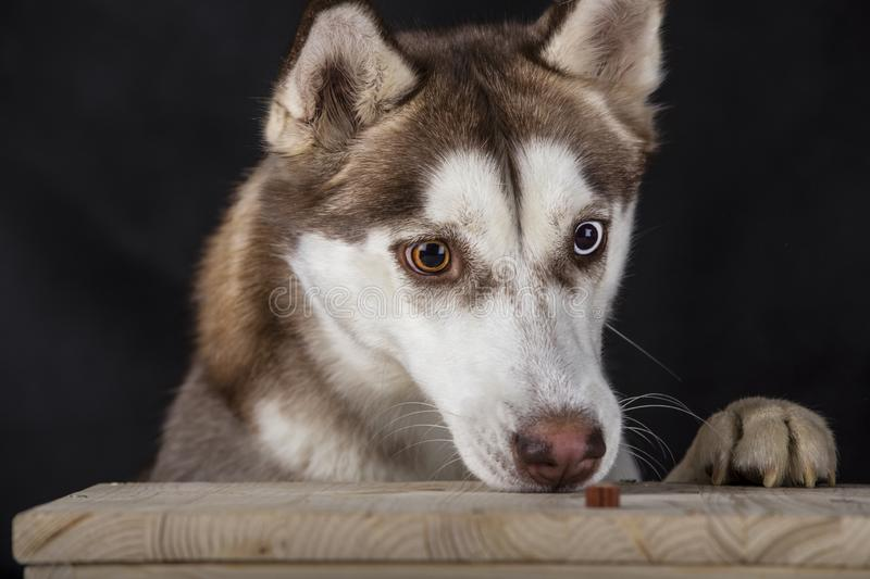 Lovely two-colored eyes husky smelling a treat royalty free stock photo
