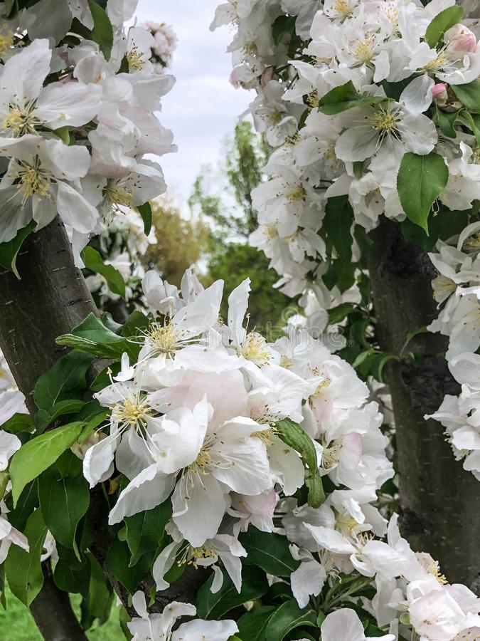Tree with white blossoms stock photos